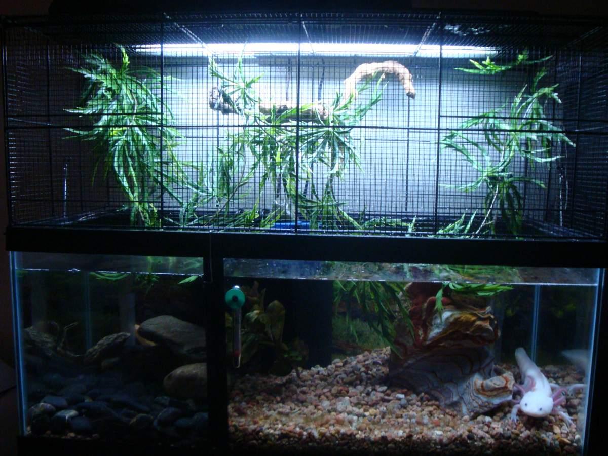 My Setup For Axolotl Goldfish And Treefrog Caudata Org