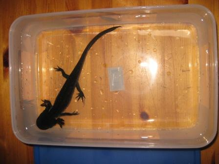 View from above of axolotl in plastic tub