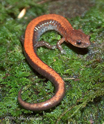 red backed salamander eggs