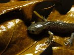 Ambystoma mabeei and or talpoideum 026.jpg