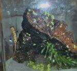 baby newt belly.jpg