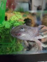 Axolotl growth 2020 c.jpg
