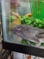 Axolotl growth 2020 b.jpg