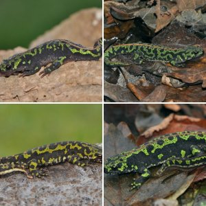 Marbled Newts