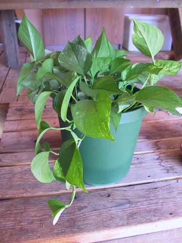 http://www.caudata.org/people/JM/pics/plant1.jpg