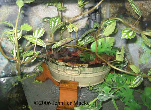 Aluminum Plant Growing In A Saucer Of Water And Rocks It Grows Well As Long The Leaves Are Above Readily Roots Into